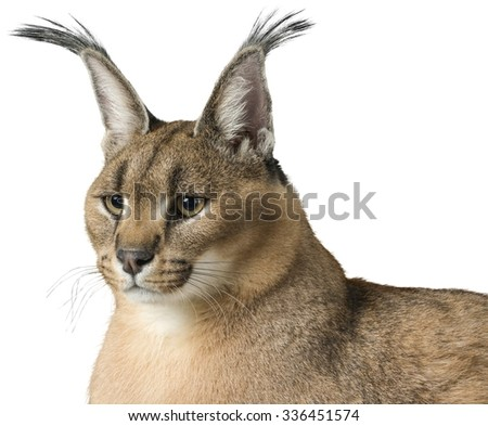 Close-Up of Caracal - Isolated - stock photo