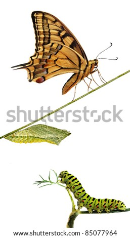Close up of caterpillar , pupae, and swallowtail butterfly - stock photo