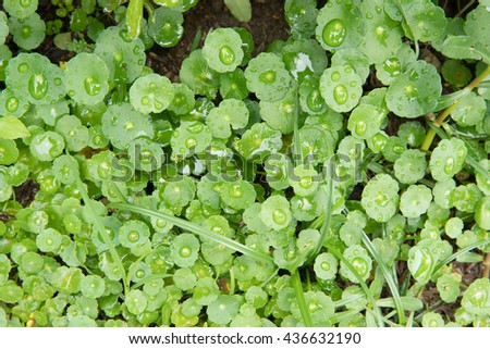close up of Centella or gotu kola leaves. - stock photo