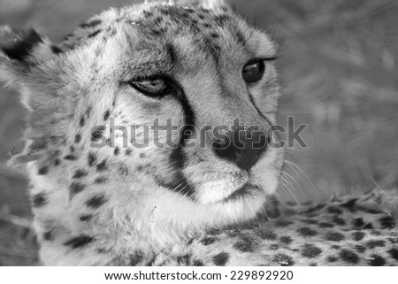 Close up of Cheetah, Namibia - stock photo