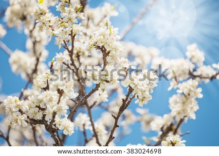 Close up of cherry blossom in spring, branches over clear blue sky. Selective focus - stock photo