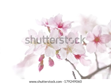 Close up of cherry blossoms in full bloom with white background.  - stock photo