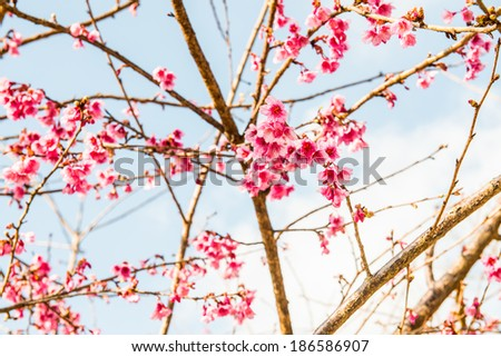 Close Up of Cherry Blossum at Chiangmai Province, Thailand