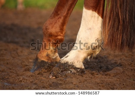 Close up of chestnut horse hind legs hooves