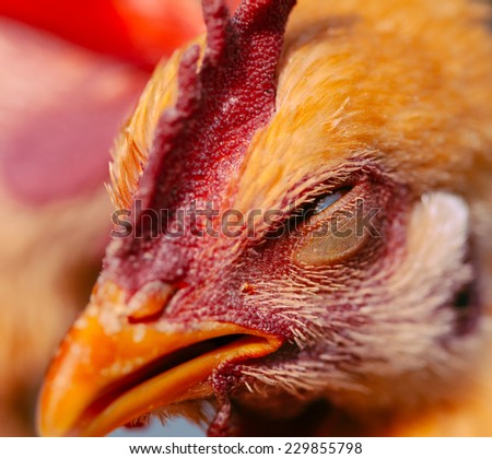 close up of chicken head - stock photo