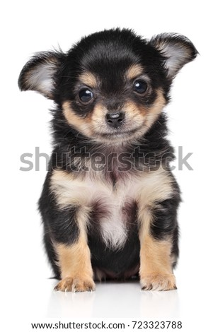 Close-up of Chihuahua puppy on white background