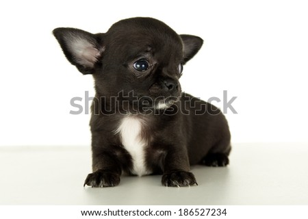 Close-up of Chihuahua puppy sitting - stock photo