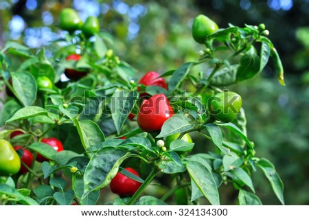 close-up of  chili peppers in the vegetable garden - stock photo