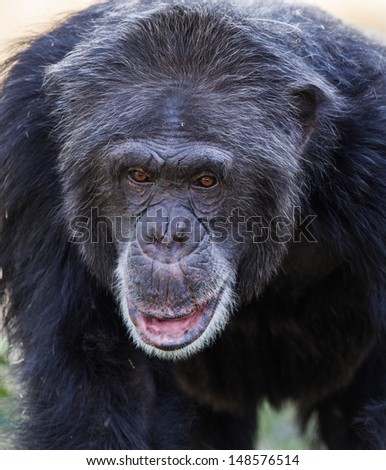 Close up of Chimpanzee face