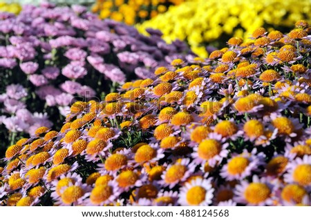 close-up of chrysanthemum flowers in the flowerbed