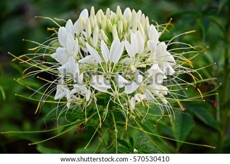 Close cleome white spider flowers stock photo 100 legal protection close up of cleome or white spider flowers mightylinksfo
