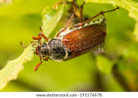 Close up of cockchafer (Melolontha melolontha) eating   - stock photo