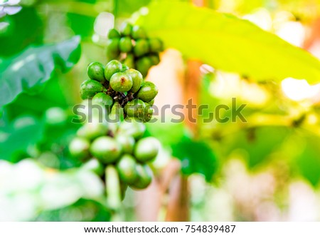 Close Up of coffee fruit in coffee farm and plantations in southern, Thailand , Asia