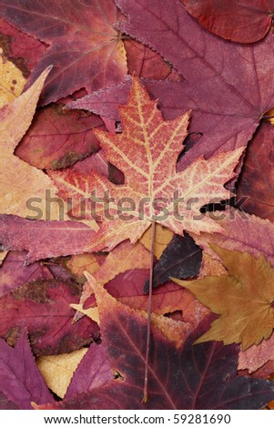 close up of colorful autumn leaf - stock photo