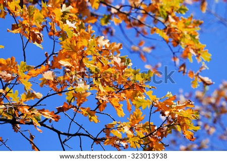 close-up of colorful autumn oak leaves on a branch against the sky and the trees - stock photo
