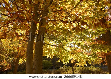 Close-up of Colorful Beech Tree in Autumn  - stock photo