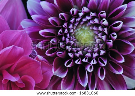 Close-up of colorful dahlias showing their patterns, details, and vibrant colors - stock photo
