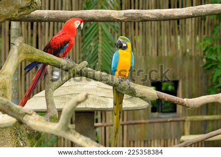 Close up of colorful macaws, selective focus. Macaws are members of the parrot family.  - stock photo