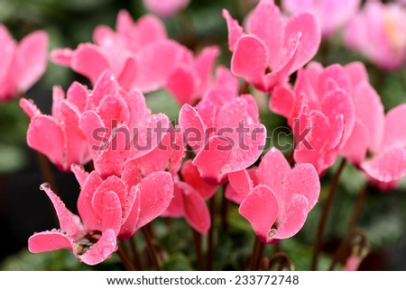 Close up of colorful pink cyclamen flowers with their typical delicate up swept flowers, a popular indoor ornamental houseplant - stock photo