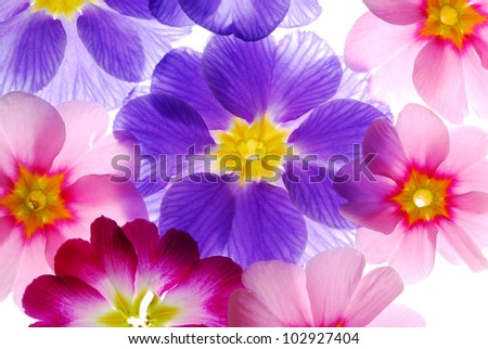 close up of colorful primula flowers