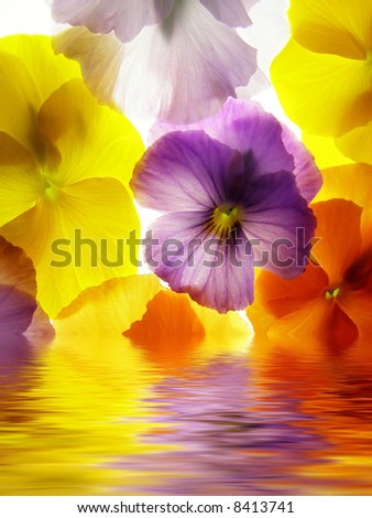 close-up of colourful viola tricolor against white background