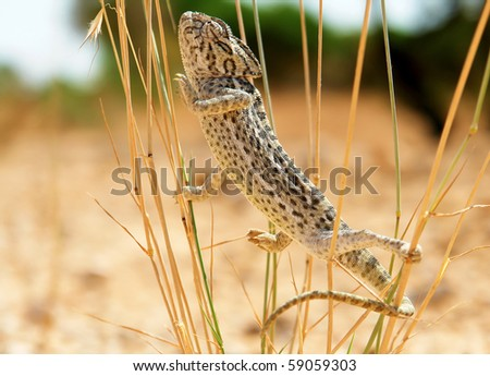 Close-up of Common Chameleon in the wild, Species: Chamaeleo chamaeleon. Mediterranean Region - stock photo