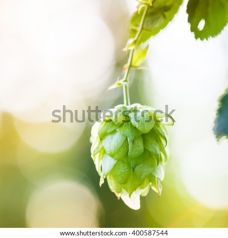 Close-up of common hop cone in soft light, ripe for picking and used as material for beer production (Humulus lupulus). Organic, clean agricultural industry, beer production, raw materials concept.  - stock photo