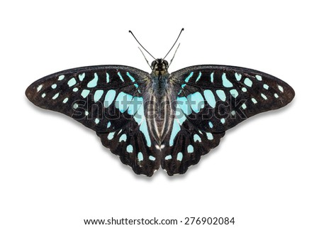 Close up of Common Jay (Graphium doson) butterfly, isolated on white background with clipping path, dorsal view - stock photo