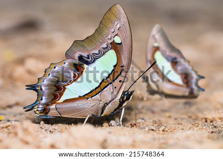 Close up of Common Nawab (Charaxes athamas) butterflies puddling on the ground in nature