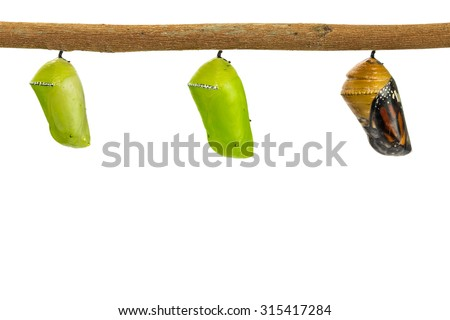 Close up of Common Tiger (Danaus genutia) pupae, isolated on white background with clipping path - stock photo