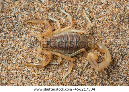 Close up of Common Yellow Scorpion/Scorpion/Common Yellow Scorpion (Buthus Occitanus) - stock photo