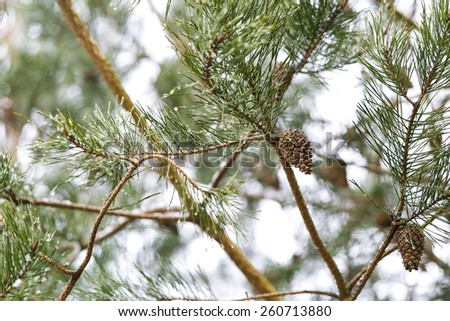 Close up of cone growing on pine tree branch - stock photo