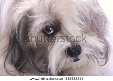 Close up of cool looking puppy dog with bang covering his face - stock photo