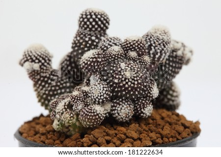 Close up of copiapoa tenuissima monstrose cactus in a pot. - stock photo