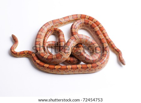 Close up of corn snakes (Pantherophis guttattus) on white background isolated, a lot of copysapce available, macrophotography