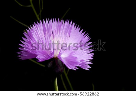 close up of cornflower on black background