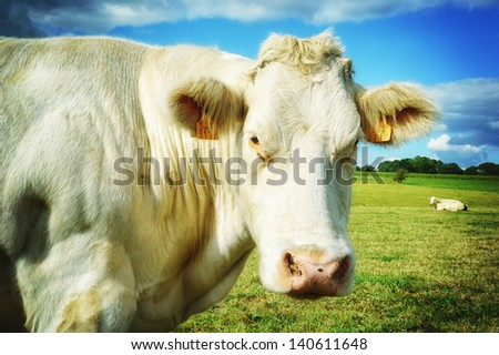 Close up of cow at green field - stock photo