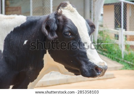 Close up of Cow Head. Head of black and white cow in farm.