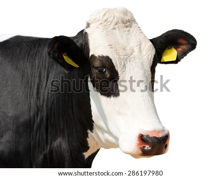 Close up of Cow Head isolated on White / Head of black and white cow isolated on white background - stock photo