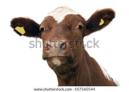 Close up of cow, isolated on white - stock photo