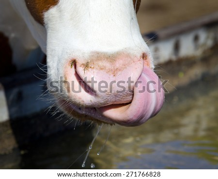 Close up of cow's tongue and nose after drinking water - stock photo
