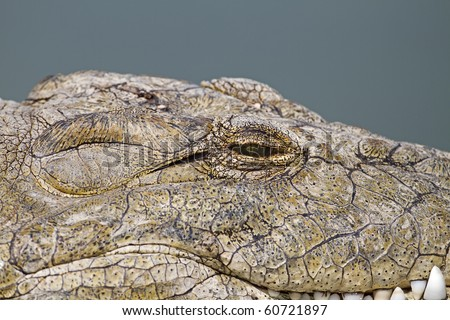 Close up of crocodile head and eye