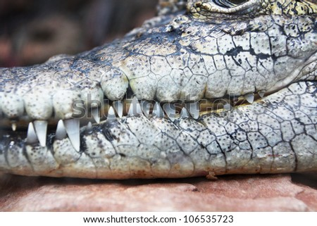 Close-up of crocodile teeth, in the zoo at thailand