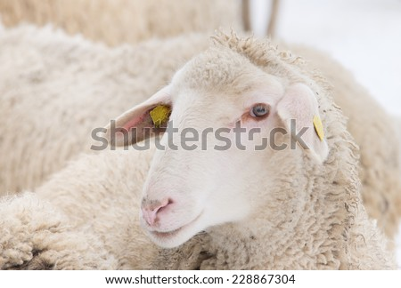 Close up of curious sheep in herd looking at camera - stock photo