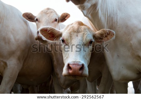 Close up of curious white cow in bunch of cows