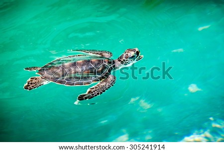 Close up of cute baby turtle in turquoise water - stock photo