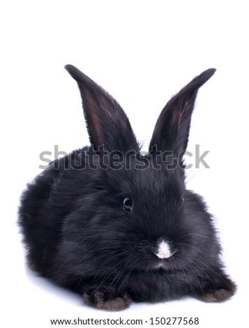 close-up of cute black rabbit eating green salad - stock photo