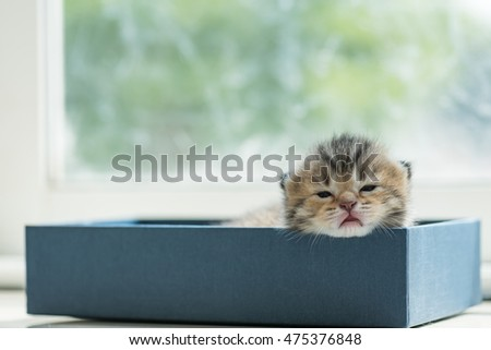 Close up of cute lazy tabby persian kitten lying in blue paper box in the morning.
