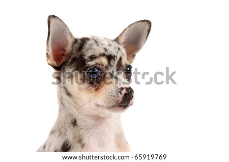 Close-up of cute little chihuahua with big ears and one blue eye   on a white background