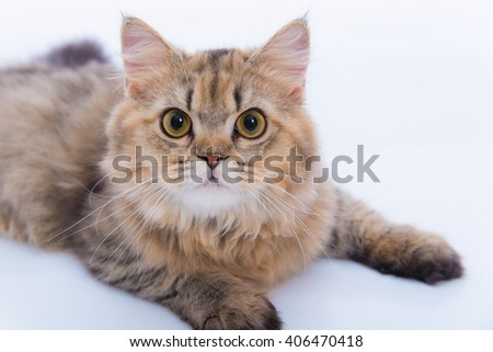 Close up of cute persian tabby cat sitting on the ground. - stock photo